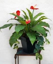 Silk arrangement of Anthurium &  Ivy