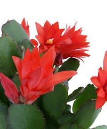 Christmas Cactus in Port Charlotte FL, Port Charlotte Florist