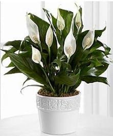 Simply Ceramic Spathiphyllum