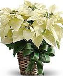 White Poinsettia Plant in Port Charlotte FL, Port Charlotte Florist