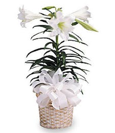 Single Easter Lily