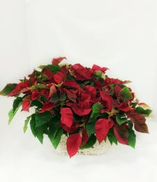 Triple Poinsettia Basket